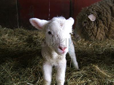 白色的小山羊图片