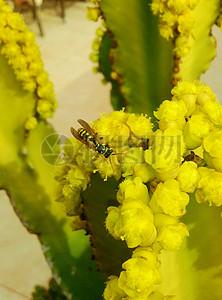 多肉花朵上的马蜂图片
