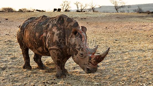 贫瘠土地上的犀牛图片