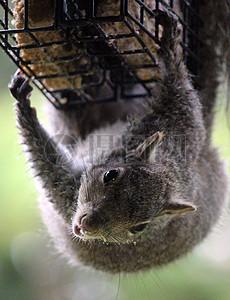 觅食中回头望的仓鼠图片