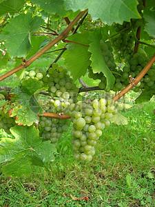 葡萄藤上的葡萄图片