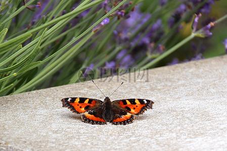 赏花的蝴蝶图片
