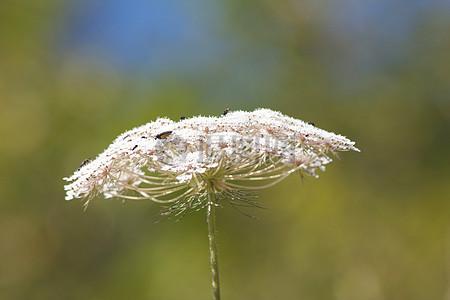 蒲公英上的小虫子图片