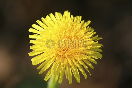 黄色的蒲公英花朵图片