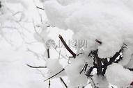 冰雪覆盖的树枝图片