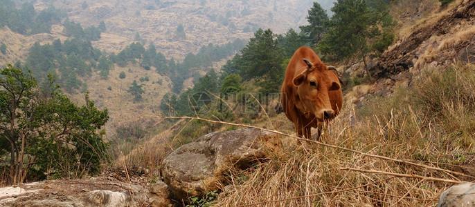 山上的黄牛图片