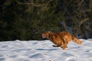 雪地上奔跑的狗图片