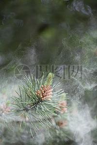 云雾中的松树枝图片