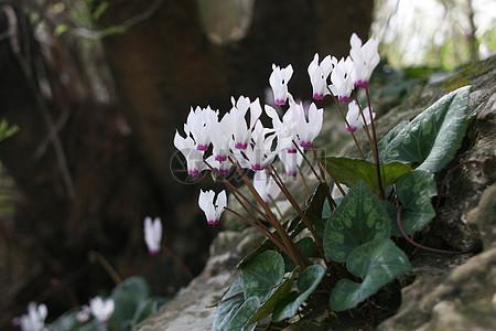 白色仙客来花朵图片
