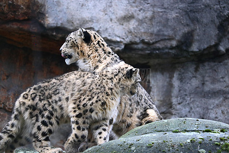 很萌很可爱的雪豹图片
