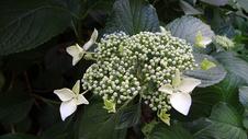 开放的白色紫阳花图片