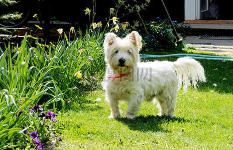 草地上的白狗图片