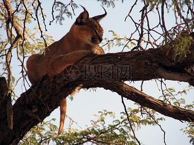 树枝上的猫科动物图片