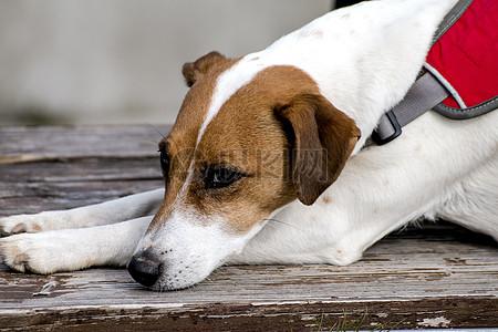 趴着的小白狗图片