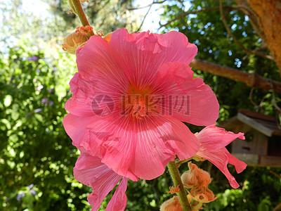 粉红色的蜀葵花朵图片