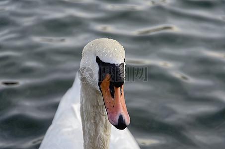 白色的大天鹅图片