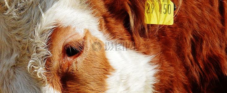 黄牛局部照片图片