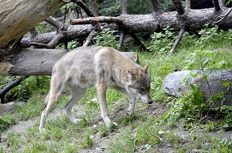 土地上的灰狼图片