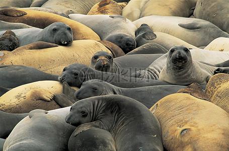 成群的动物海象高清图片