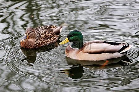 湖面里的绿头鸭图片