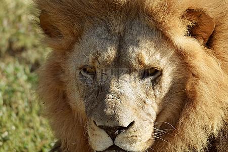 特写下的狮子头图片