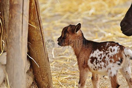 草地上走动的小山羊图片
