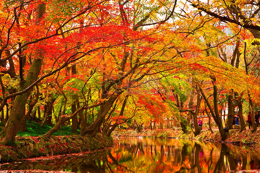 秋天红花色的树叶和倒影图片