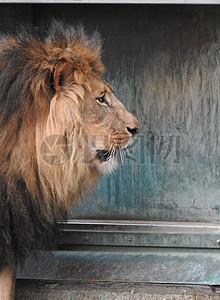 狮子头部照片图片