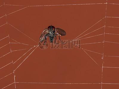 蜘蛛网上的小虫子图片