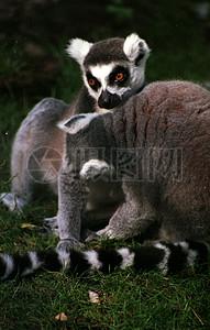 可爱的环尾狐猴图片