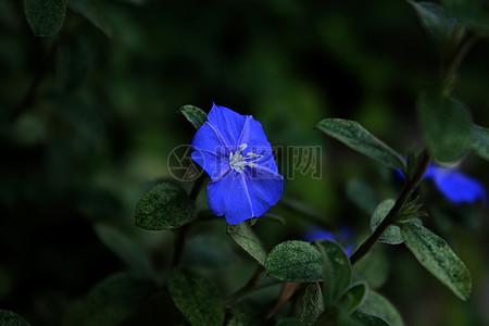 美艳的蓝色花朵图片