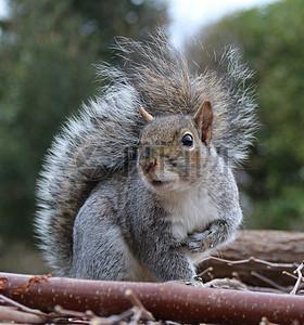 回头张望的松鼠图片