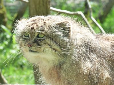 回头望的猫科动物图片