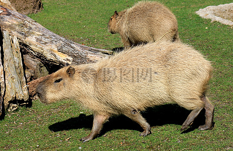 草地上漫步的水豚图片
