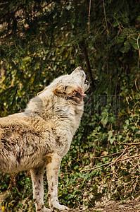 丛林中的白狼图片