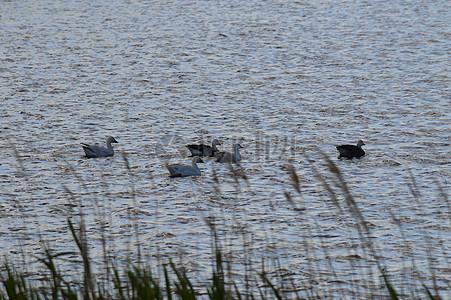 在沙湖雪鹅羊群图片
