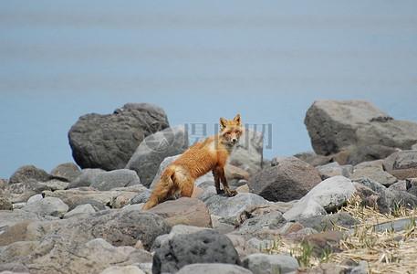 赤狐在Izembek泻湖图片