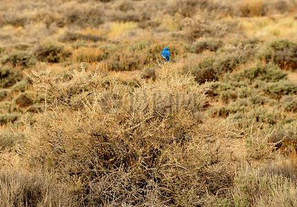 在Seedskadee 01 NWR山蓝鸟图片