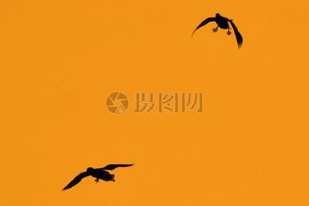 野鸭在日落沙湖大规模杀伤性武器下降到一个大草原坑洼图片