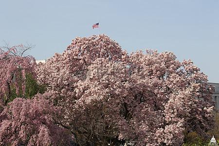 樱花树与美国旗帜图片