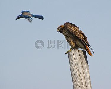 红尾鹰可以让另一只鸟进入附近的兵团建设工地领空图片