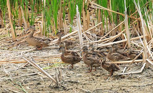 野鸭母鸡和母巢之战上沙湖NWR图片