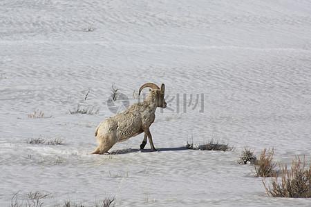 雪大角羊图片
