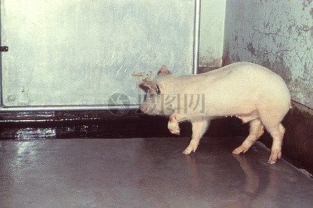 """从""""画报手册某些动物疾病的识别与诊断"""",发表于1982年,由墨西哥 - 美国Ç图片"""