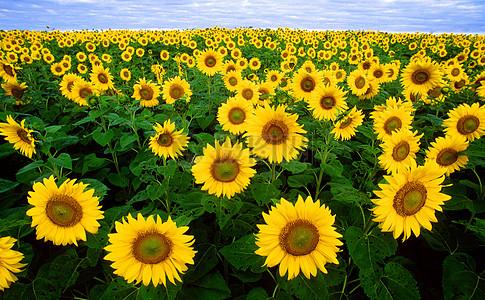 大片的向日葵花图片