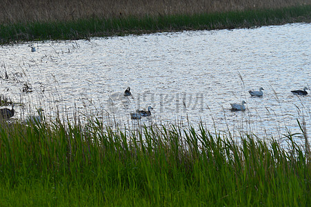 雪鹅在沙湖图片