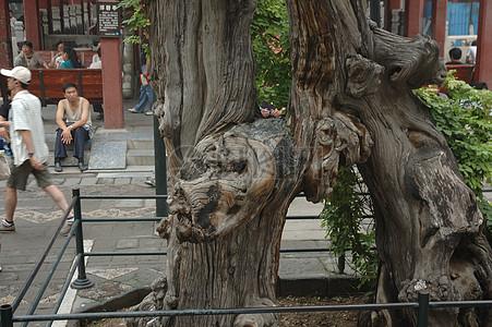 中国北京的树根图片