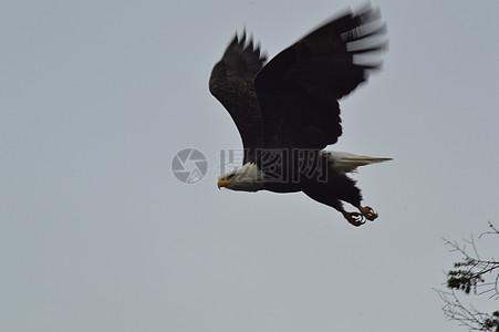 飞翔中的黑鸟图片