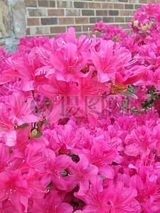 粉紫色的扶桑花图片