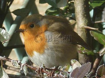 树枝上的小胖鸟图片